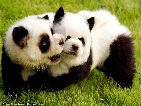 """Latest canine trend in China: """"Panda Dogs"""" - Dogtime"""