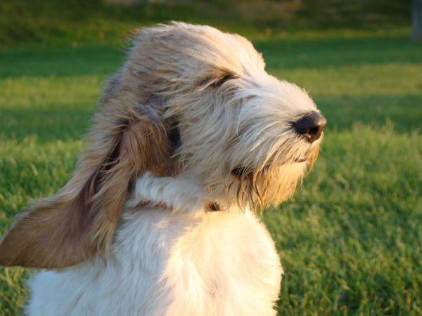 O cão contente -Grand Basset Griffon