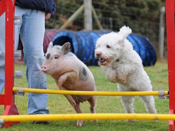 Louie, a porquinha Babe!