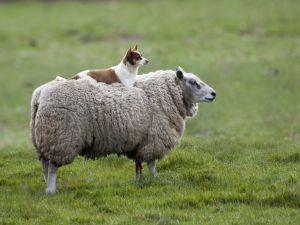 Muito cansado para pastorear