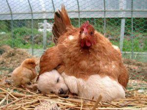 Mãe galinha