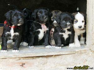 Os cachorros às 5 semanas