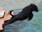 Cão de Água Português em Tavira