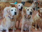 Um final de vida digno para os cães-guia no Japão