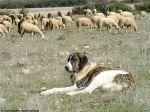 Cães ajudam a preservar o lobo ibérico