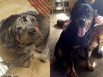 Transformação miraculosa de Rottweiler à beira da morte