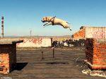 TreT, o cão parkour da Ucrânia