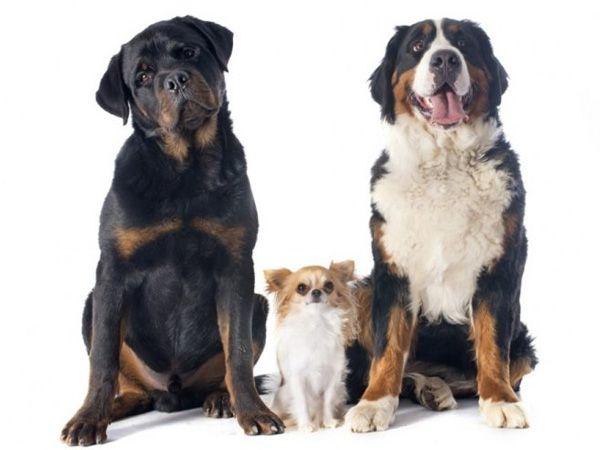 Foto Como avaliar se um cão é agressivo?