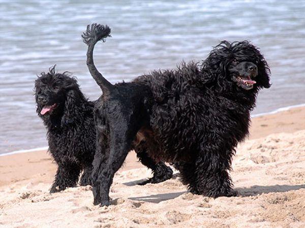 Foto Cão de Água Português