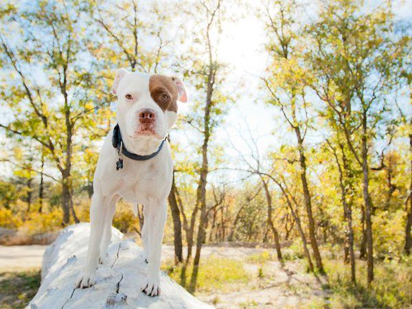 Foto American Pit Bull Terrier