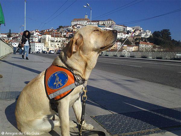 Foto Primeiro cão-guia formado em Portugal entregue há 15 anos