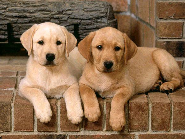 Foto Adquirir dois cachorros de uma só vez?