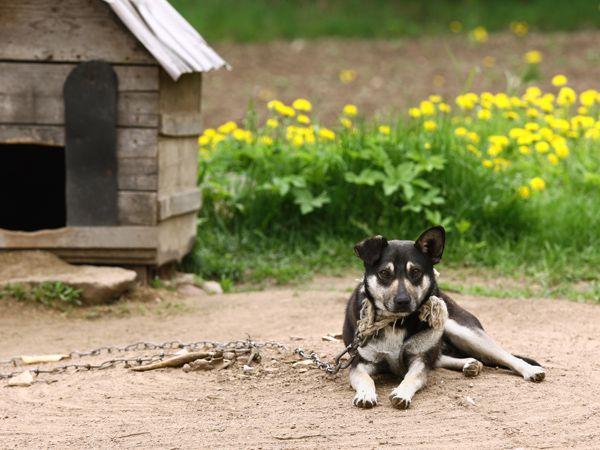 Foto A história de um cão acorrentado
