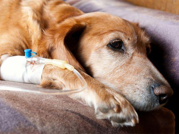 Foto Reduzir a dor de cães com cancro