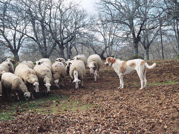 Foto Cão de Gado Transmontano