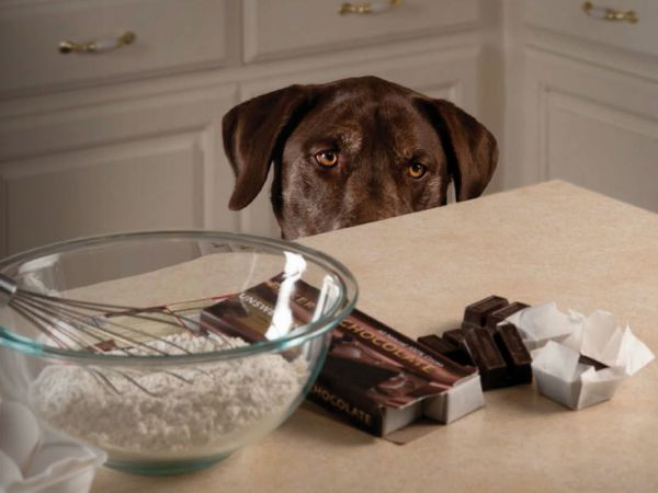 Foto Porque é que o chocolate é tóxico para os cães?