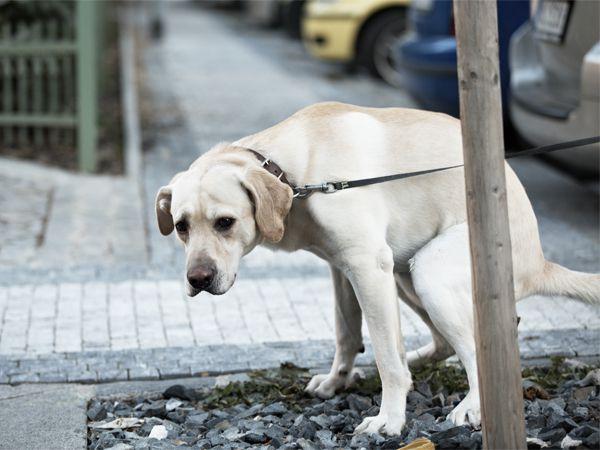 Foto Cocó canino, não fuja mais dele!