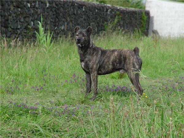 Foto Cão de Fila de São Miguel