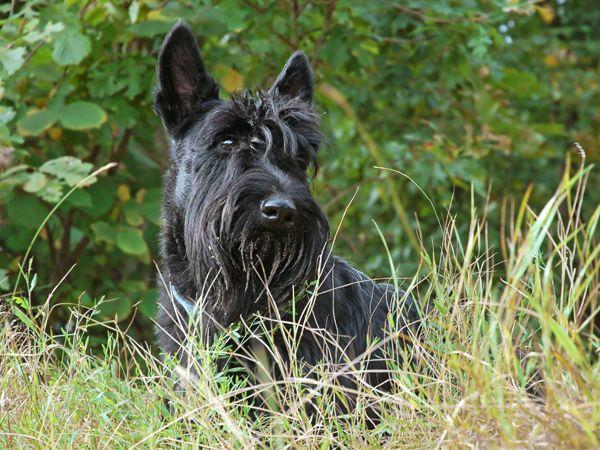 Foto Terrier Escocês