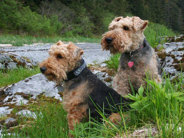Foto Welsh Terrier