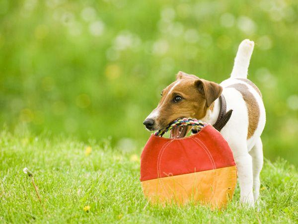 Foto Fox Terrier de pêlo liso