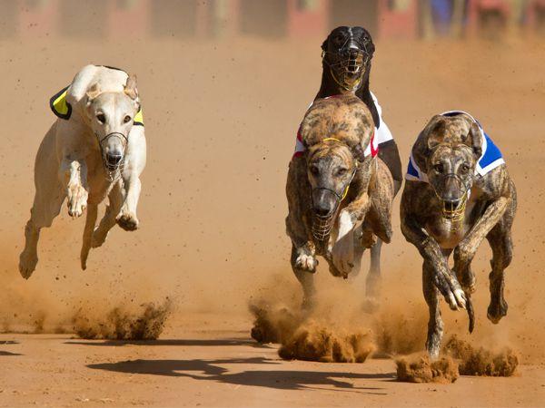 Foto Indústria das corridas de galgos continua a matar milhares de animais