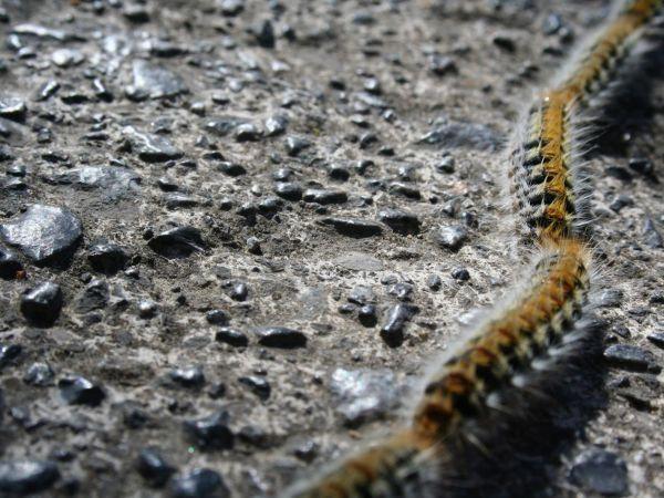 Foto Lagarta do pinheiro: um inimigo mortal