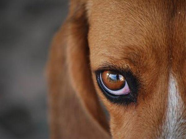 Foto O uso de cães em testes laboratoriais