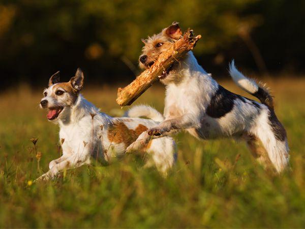 Foto Parson Russel Terrier