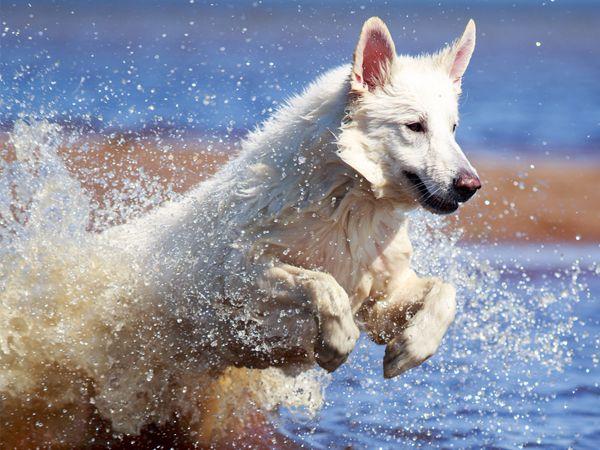 Foto Cão de Pastor Branco Suiço