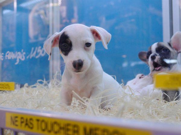 Foto Brasil: novas regras para vender cães em lojas de animais