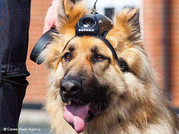 Foto Pensões para cães-policia reformados