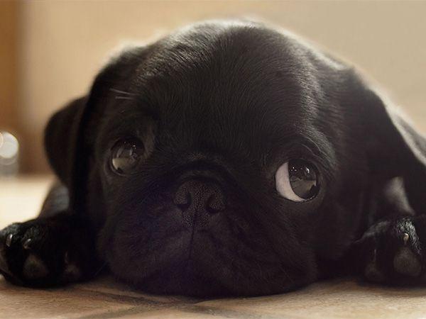 Foto Donos à rasca: Pug com 7 meses faz chichi em casa