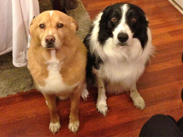 Foto Será que os cães sentem culpa?