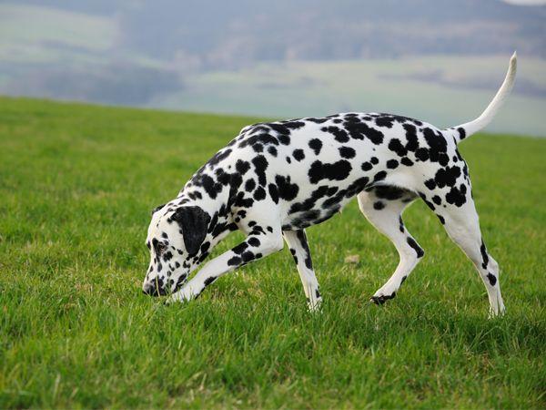 Foto Cão da Dalmácia