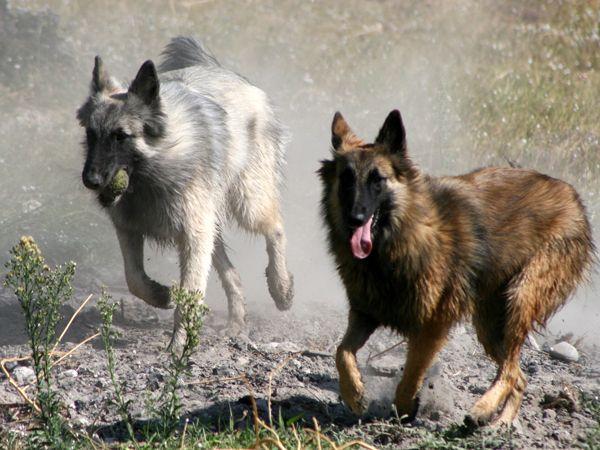 Foto Cão de Pastor Belga Tervueren