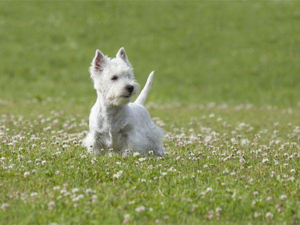 Foto West Highland White Terrier