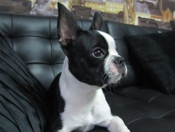 O meu Boston Terrier!