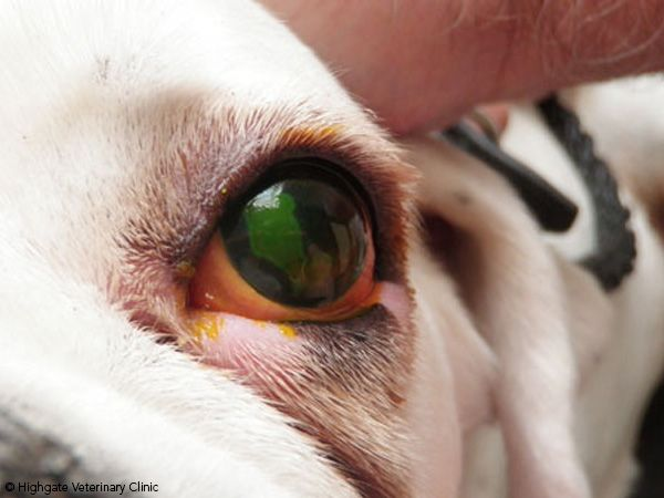 Dog Eye Problems Pictures