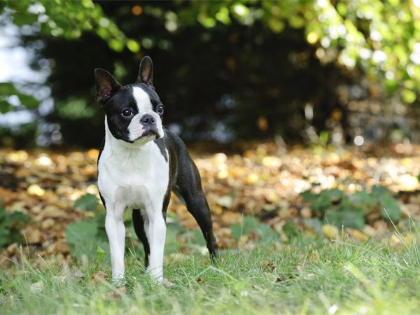 Foto Boston Terrier