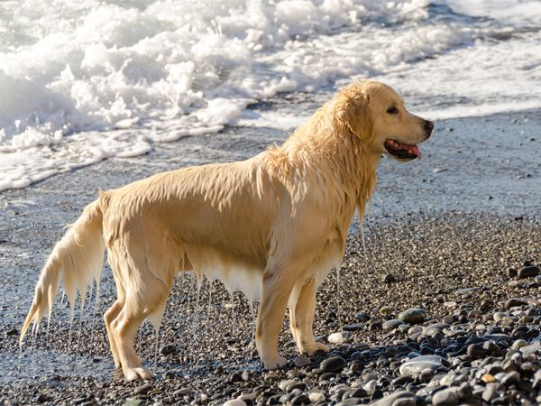 Foto Golden Retriever